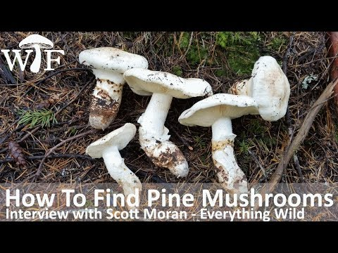 How To Find Pine Mushrooms | Foraging For Matsutake In British Columbia, Canada