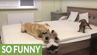 Dachshund goes nuts when allowed to play on the bed