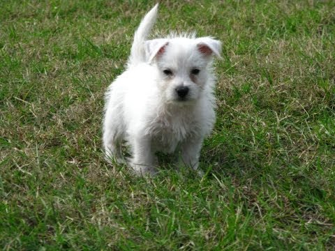 west highland terrier for sale craigslist west highland white terrier westie puppies dogs for 1096