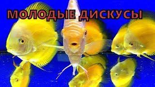 Молодые дискусы в аквариуме