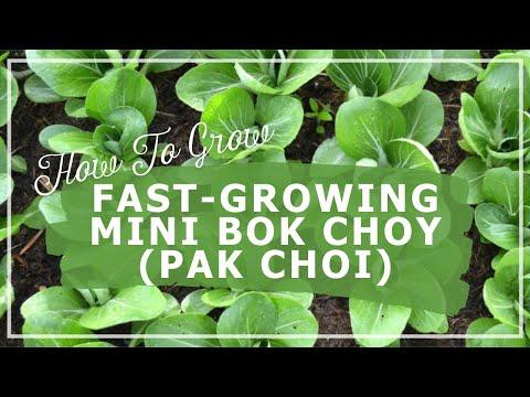 Fast-growing Mini Pak Choi