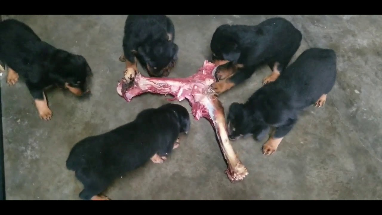 7 week old pups  amazing  butler kennels rottweilers