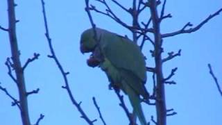 Gorgeous green parakeet outside my window Thumbnail