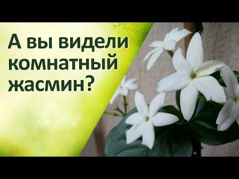 Комнатные цветы Жасмин Уход Обрезка