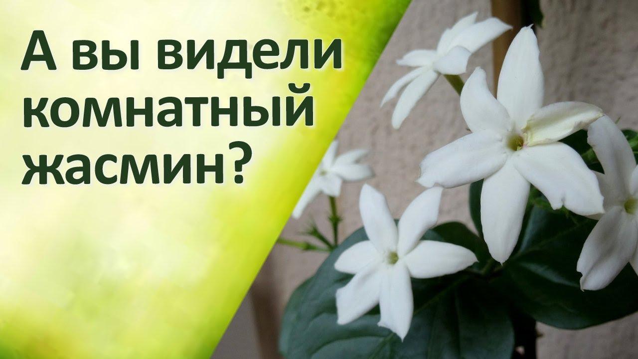 Комнатные цветы Жасмин Уход Обрезка - YouTube