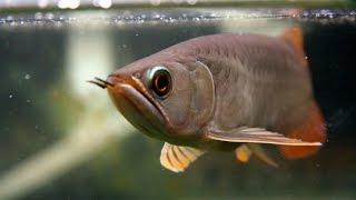 Video Banjar Red Arowana eats goldfish..  Live feeding download MP3, 3GP, MP4, WEBM, AVI, FLV September 2018