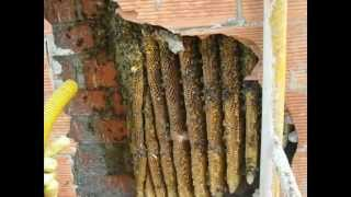 Extracción de colonia de abejas de un edificio - apicultura - Español captura enjambre