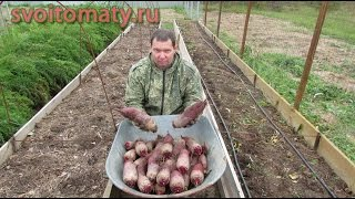 Выращивание свеклы по краю грядки(Выращивание свеклы по краю грядки: http://svoitomaty.ru/svekla-vyrashhivaem-po-krayu-gryadki/, 2014-09-20T09:56:07.000Z)