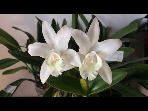 Орхидея Каттлея Wolkerinter. Правильный уход и полив каттлеи для того, чтобы она 100% зацвела!