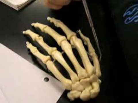 Skeletal Hand Anatomy Youtube