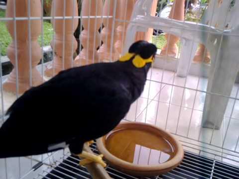 BURUNG AJAIB BERSUARA MANUSIA (MYNA BIRD)