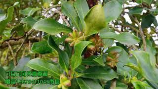 Guangxi Black Star Anise Price