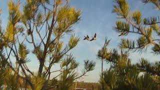 Охота на гусей с манками на болоте