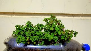 How To Grow Mint Bottle Plant Gardening Sekho in Hindi/Urdu