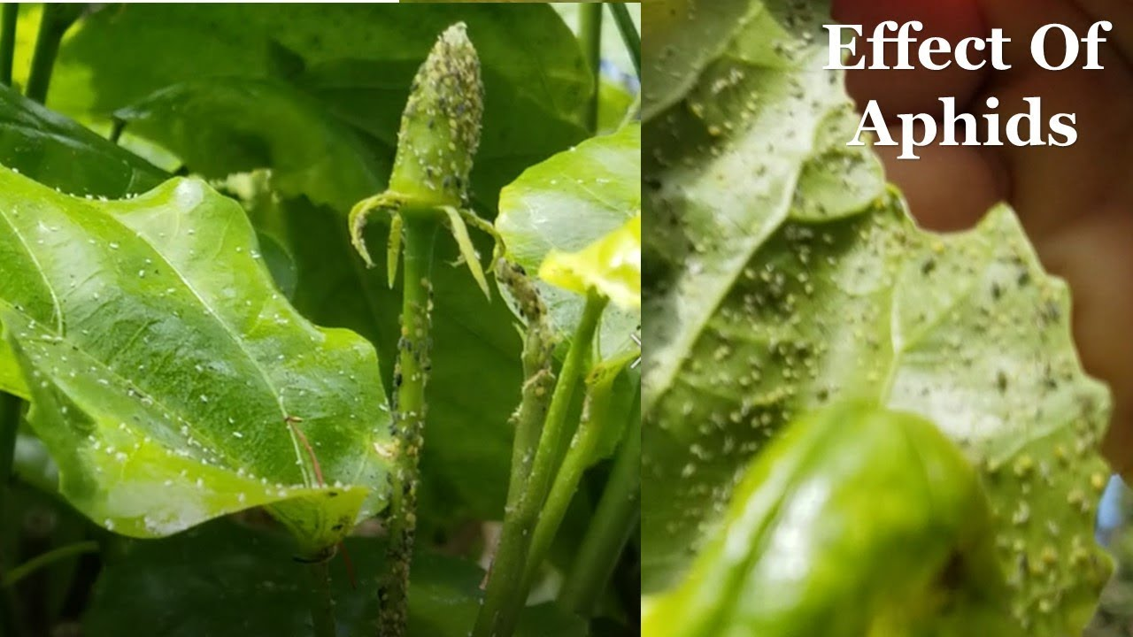 Aphids On Hibiscus How To Get Rid Of Hibiscus Aphids