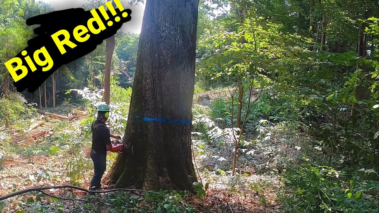 Huge Red oak tree hits the ground!!!