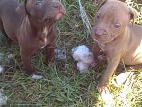 Red Nose Pitbull Puppies 5 Weeks And Parents