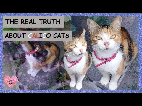 THE REAL TRUTH ABOUT CALICO CATS