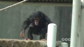 서울대공원 아기 침팬지