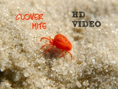 Red Clover Mites HD - YouTube