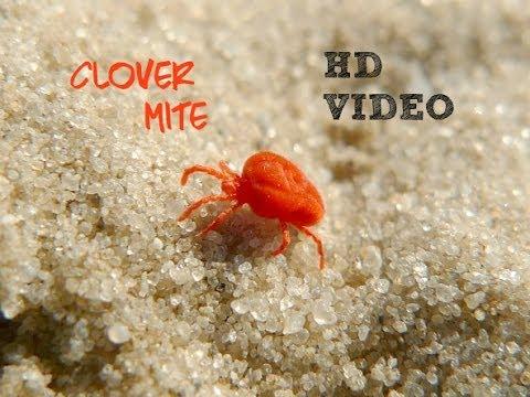 red clover mites hd youtube. Black Bedroom Furniture Sets. Home Design Ideas