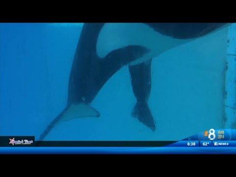 Baby killer whale born at SeaWorld San Diego - YouTube
