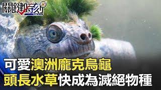 可愛澳洲「龐克烏龜」 頭頂、臉部長水草 竟快成為滅絕物種 關鍵時刻 20180416-6 朱學恒 黃世聰