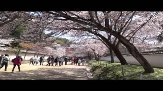 日本神戶奈良京都大阪四都櫻花欣賞2014 04 10
