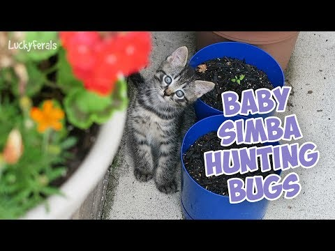 Feral Kitten Hunting Bugs and Playing With A Rock - Baby Simba!