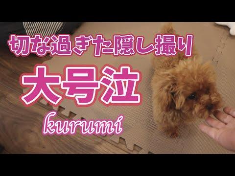 初めてのお留守番に涙・・トイプードルの子犬ちゃん【一部閲覧注意】
