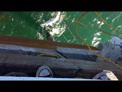 Shark Fishing In Malibu Soup-fin Shark fishing with chef Gordon Ramsay! Malibu pier fishing