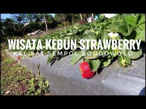 kebun-strawberry-sempol-bondowoso