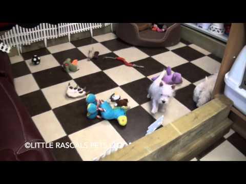 Little Rascals Uk breeders New litter of Westie babies - Puppies for Sale 2015