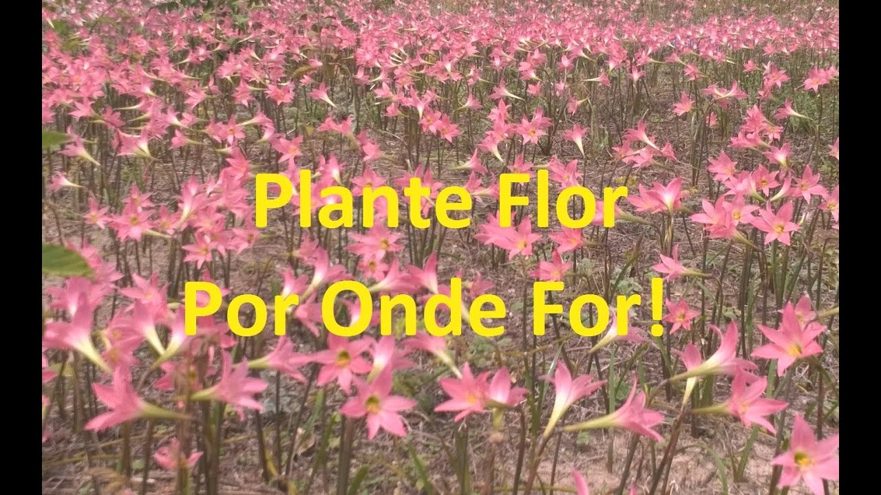 plante flor por onde for youtube. Black Bedroom Furniture Sets. Home Design Ideas