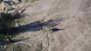 LINCE IBERICO EN LA SIERRA (IBERIAN LYNX)