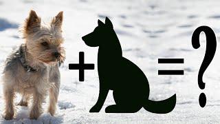 Top 20 Unreal Yorkie terrier mix breeds   Yorkshire Terrier Cross breeds