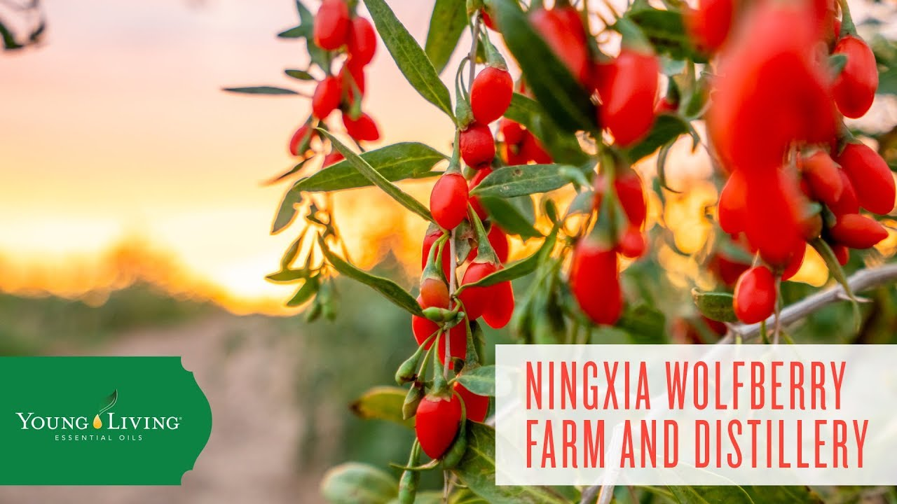 Ningxia Wolfberry Farm And Distillery Young Living Essential