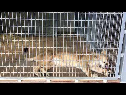小諸市動物園の咳払いをするライオン Some lions cough