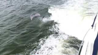 Dolphins Jumping Meridian 441 Wake