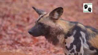 Стаи диких собак | Документальный фильм про животных