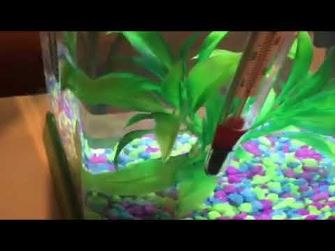 Betta Fish Open Wound And Bleeding Eye Youtube