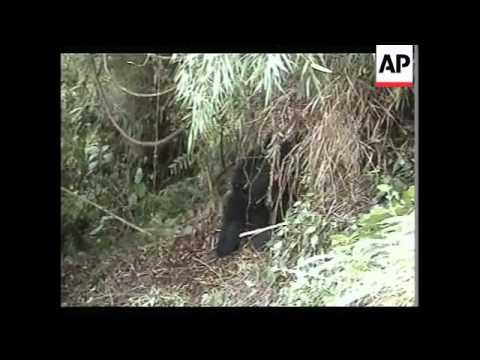 Hutu militants kill and eat rare mountain gorillas