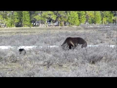 MVI 4618   Yellowstone National Park   Mama grizzly and cub   North shore Lake Yellowstone
