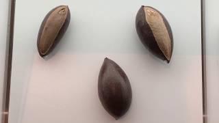 大葉山欖種子 Palaquium Formosanum Seed