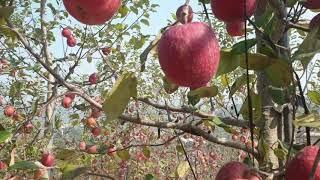 쫑말이네 농장  풍기홍삼사과 수확임박
