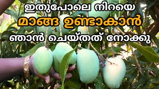 മവ നറയ മങങ ഉണടകൻ  Mango tree cultivation krishi tip malayalam  Increase mango production