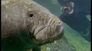 Attenborough: Bad Breath From the Gentle Sea Cow -  Life of Mammals - BBC