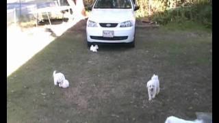 Tp004545078 3 Fluffy White Female Maltichons Maltese X Bichon Frise