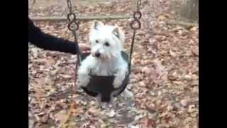 Westie Dog In A Baby Swing