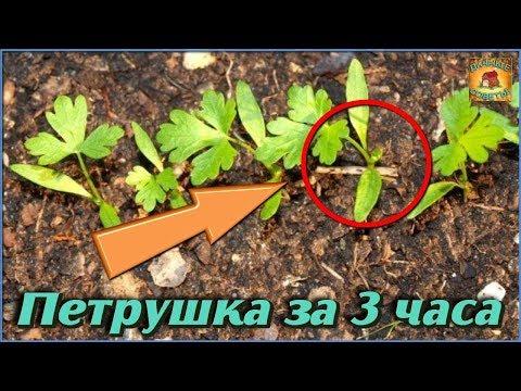 Эксперимент: Проращивание петрушки за 3 часа. Неужели этот способ работает? Советы огородников